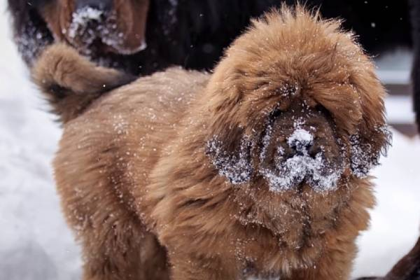 While Tibetan Mastiff price tends to be high, good breeders normally have all their puppies spoken for