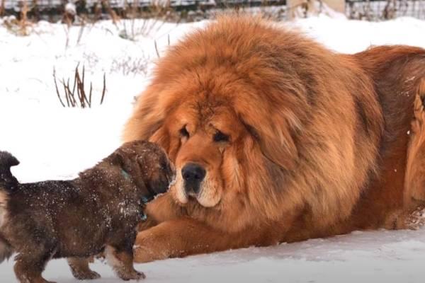 Tibetan Mastiff Price: what should you expect