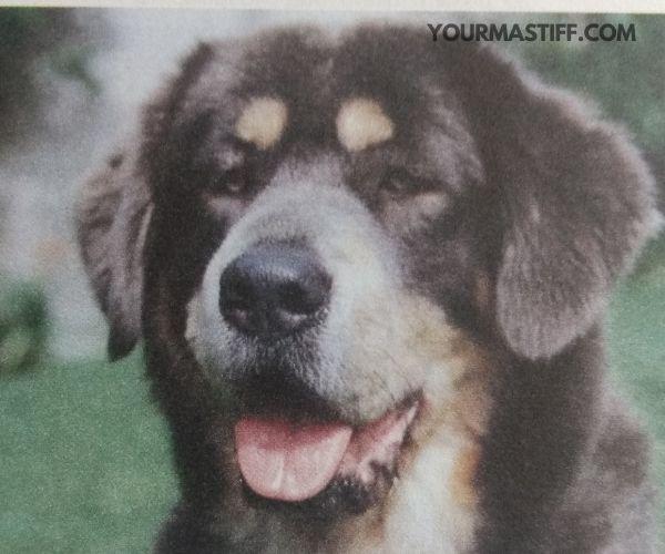 Tibetan Mastiffs shed quite a bit