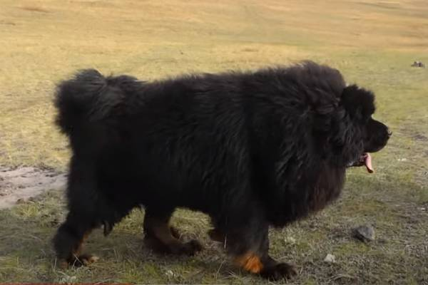 Tibetan Mastiff Price: medical expenses