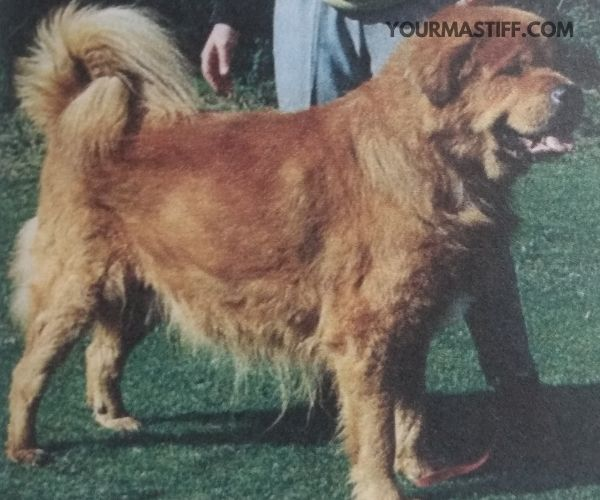 Tibetan Mastiff price and purchasing your Tibetan Mastiff