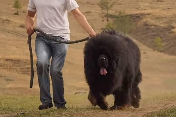 raising a small Tibetan Mastiff puppy to adulthood