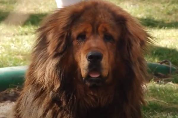 Certain foods are not beneficial for Tibetan Mastiffs