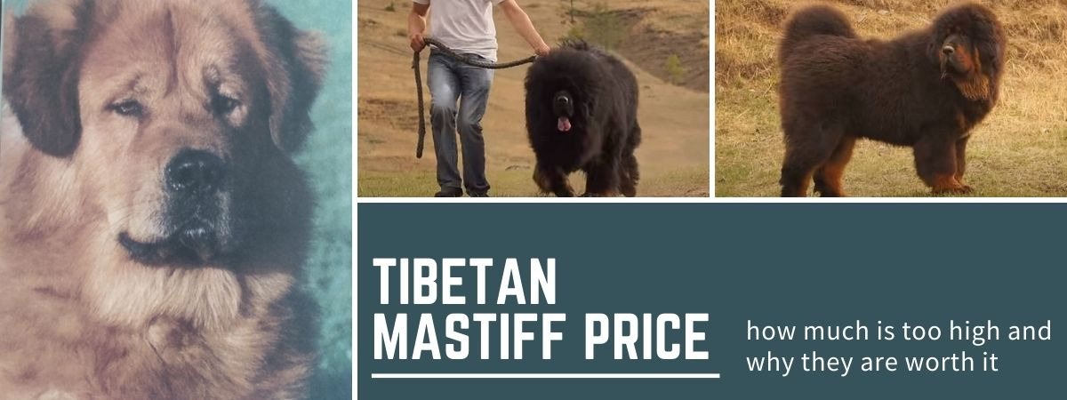 Tibetan Mastiff Price: how much is too high and are they worth it