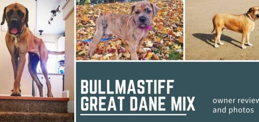Bullmastiff Great Dane Mix: a large dog for a serious owner